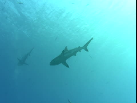 a grey reef shark swims by a small school of fish in palau. - grey reef shark stock videos & royalty-free footage