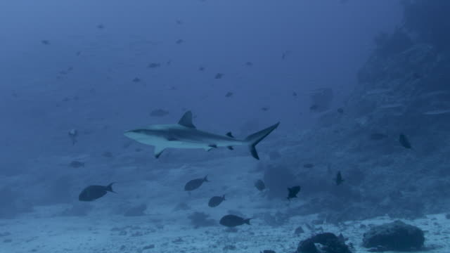 grey reef shark (carcharhinus amblyrhynchos) swims in blue ocean, fiji - grey reef shark stock videos & royalty-free footage
