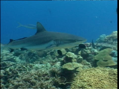 grey reef shark swims over reef and out into ocean, walindi, new britain - shark stock videos & royalty-free footage