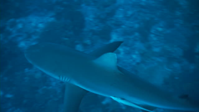 grey reef shark (carcharhinus amblyrhynchos) swims over reef, french polynesia - grey reef shark stock videos & royalty-free footage