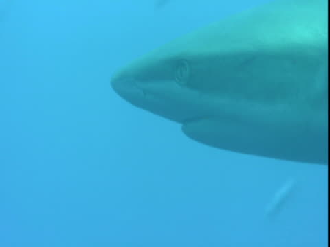 a grey reef shark swims past a school of smaller fish. - grey reef shark stock videos & royalty-free footage