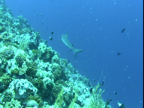 a grey reef shark swims past bicolour chromis that forage on a coral reef. - grey reef shark stock videos & royalty-free footage