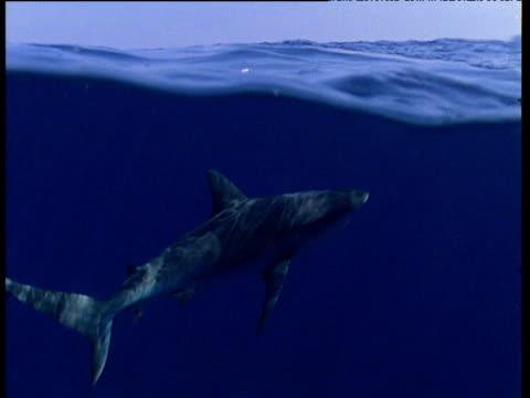 grey reef shark swims past camera at water surface - grey reef shark stock videos & royalty-free footage