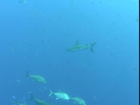 a grey reef shark swims past jacks in the pacific ocean. - grey reef shark stock videos & royalty-free footage