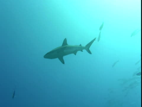 a grey reef shark swims through a small school of fish in palau. - grey reef shark stock videos & royalty-free footage