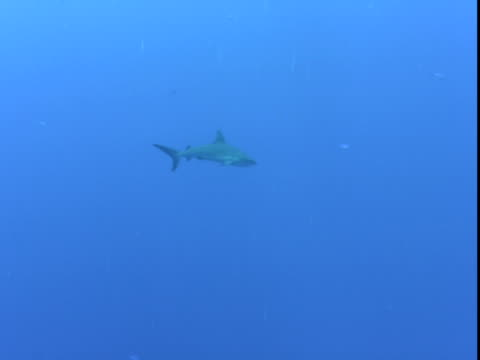 a grey reef shark swims through clear water, followed by tiny fish that forage on the coral reef. - grey reef shark stock videos & royalty-free footage