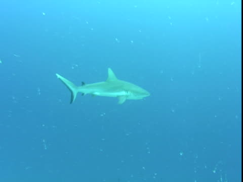 a grey reef shark swims through the ocean. - grey reef shark stock videos & royalty-free footage