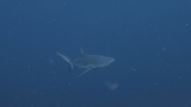 grey reef shark - grey reef shark stock videos & royalty-free footage
