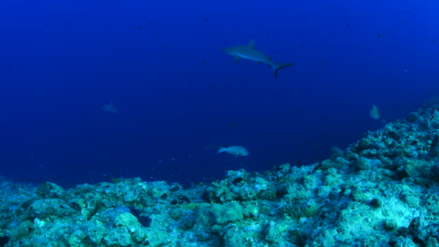 grey reef sharks, blue corner - palau - grey reef shark stock videos & royalty-free footage