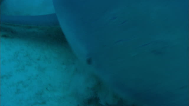 grey reef sharks, carcharhinus amblyrhynchos, picks up food, bahamas  - grey reef shark stock videos & royalty-free footage