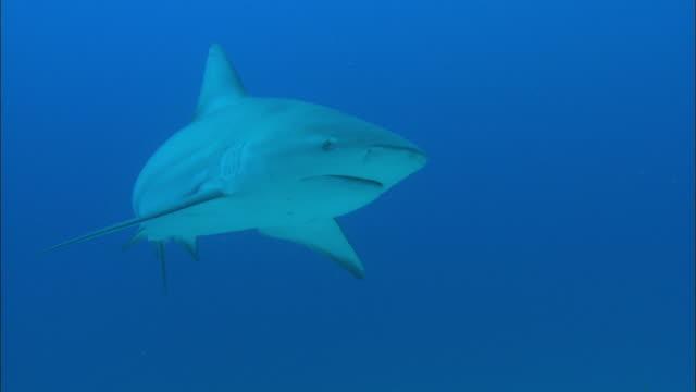 grey reef sharks, carcharhinus amblyrhynchos, swims, bahamas  - grey reef shark stock videos & royalty-free footage