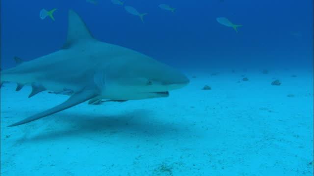 grey reef sharks, carcharhinus amblyrhynchos, swims, seabed, bahamas  - grey reef shark stock videos & royalty-free footage