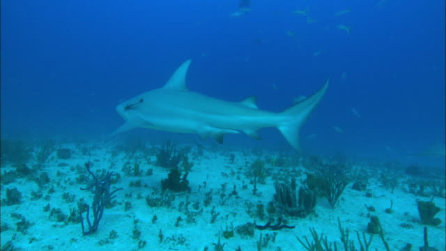 Grey reef sharks, Carcharhinus amblyrhynchos, yellowtail snappers, swim above and down to seabed, Bahamas