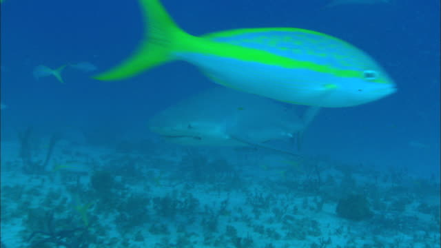Grey reef sharks, Carcharhinus amblyrhynchos, yellowtail snappers, swim, seabed, Bahamas
