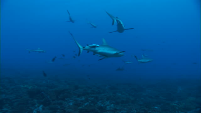 grey reef sharks (carcharhinus amblyrhynchos) gather over reef, french polynesia - grey reef shark stock videos & royalty-free footage