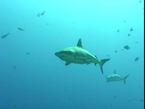 grey reef sharks move slowly past smaller fish in the pacific ocean. - 背びれ点の映像素材/bロール