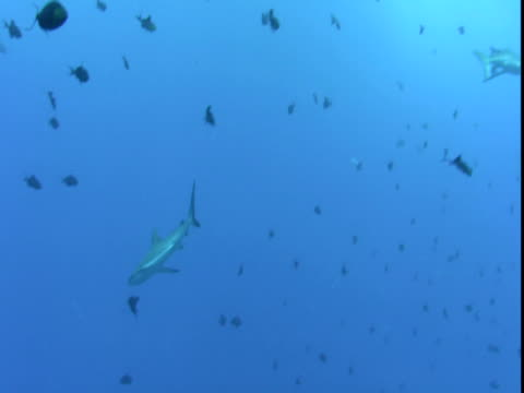 grey reef sharks swim past a variety of tiny fish in the pacific ocean. - caribbean reef shark stock videos & royalty-free footage