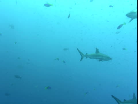 vídeos de stock e filmes b-roll de grey reef sharks swim past schools of smaller fish. - barbatana dorsal