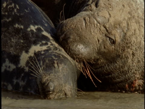 a grey seal and pup rest in the surf on the beach of sable island. - seal pup stock videos & royalty-free footage