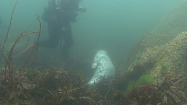 grey seal and scuba diver - grey seal stock videos and b-roll footage
