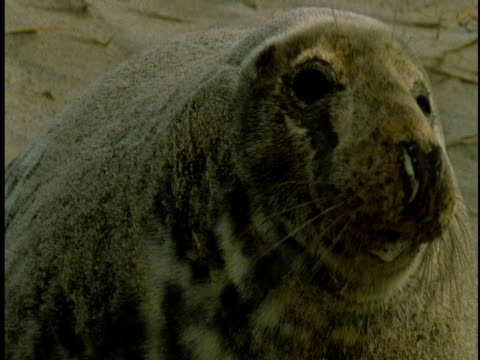 a grey seal blinks its eyes next to its pup on the beach at sable island, canada. - 大西洋諸島点の映像素材/bロール