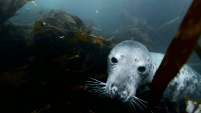 grey seal blowing bubbles and biting lights - kegelrobbe stock-videos und b-roll-filmmaterial