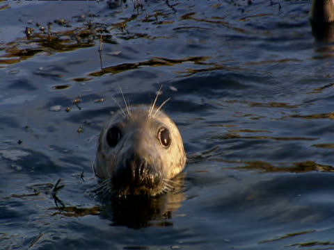 grey seal bobs in sea - grey seal stock videos & royalty-free footage