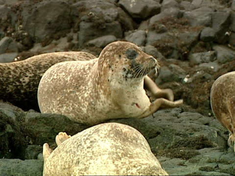 cu grey seal (halichoerus grypus) clapping, norfolk, uk - slapstick stock-videos und b-roll-filmmaterial