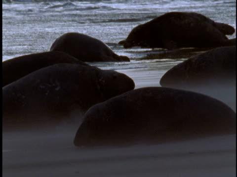 a grey seal colony moves across the beach as rain falls on sable island, canada. - 大西洋諸島点の映像素材/bロール