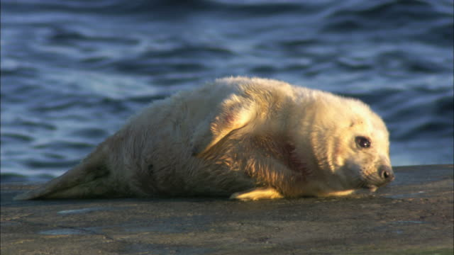ms grey seal cub moving around / sweden - kegelrobbe stock-videos und b-roll-filmmaterial