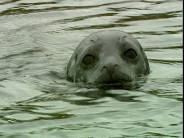 cu grey seal (halichoerus grypus) head half submerged in water, looking at camera, norfolk, uk - grey seal stock videos & royalty-free footage