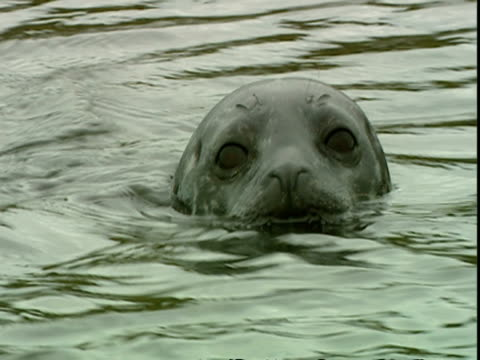 cu grey seal (halichoerus grypus) head half submerged in water, looking at camera, norfolk, uk - grey seal stock videos & royalty-free footage