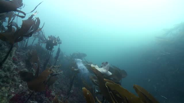 vídeos de stock e filmes b-roll de grey seal hiding in kelp - acidificação dos oceanos