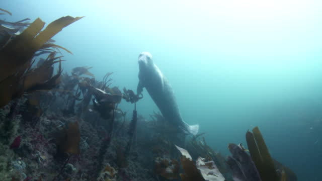 grey seal hiding in kelp - grey seal stock videos & royalty-free footage