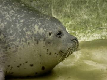 grey seal, in enclosure - grey seal stock videos & royalty-free footage