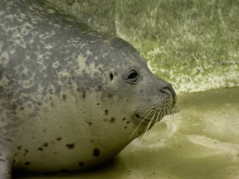 Grey Seal, in enclosure