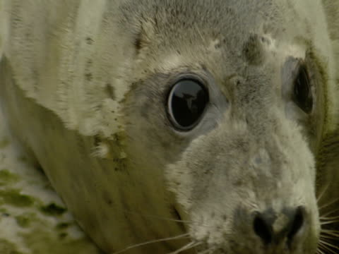 grey seal, in enclosure - grey seal stock videos & royalty-free footage