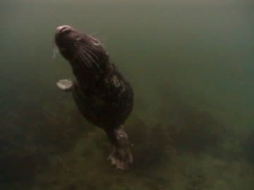 grey seal  in front of camera, swims over camera to surface then back & out of frame r bubble trail behind, very cloudy water - grey seal stock videos & royalty-free footage