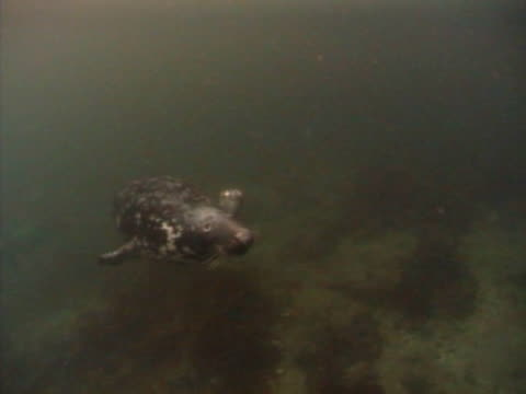 grey seal  in front of camera, swims over camera to surface then back - grey seal stock videos & royalty-free footage