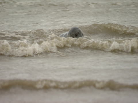 grey seal, in sea, splashing, playful, escapism - grey seal stock videos and b-roll footage