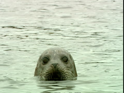 vídeos de stock, filmes e b-roll de cu grey seal (halichoerus grypus) looking at camera from water, bobs up then swims away, norfolk, uk - vadear