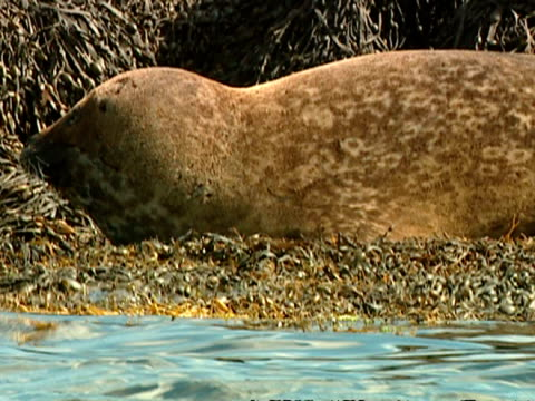 cu grey seal (halichoerus grypus) lying on rocks by water's edge, norfolk, uk - grey seal stock videos & royalty-free footage