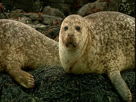 ms grey seal (halichoerus grypus)lying on seaweed covered rocks, turns head away from camera, blinking, norfolk, uk - イーストアングリア点の映像素材/bロール