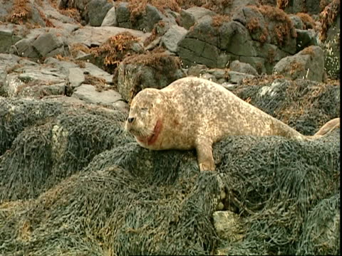ms grey seal (halichoerus grypus) lying on seaweed covered rocks, turns head to camera, norfolk, uk - grey seal stock videos & royalty-free footage