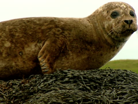 ms grey seal (halichoerus grypus), lying on top of seaweed covered rock, looks to camera, norfolk, uk - grey seal stock videos & royalty-free footage