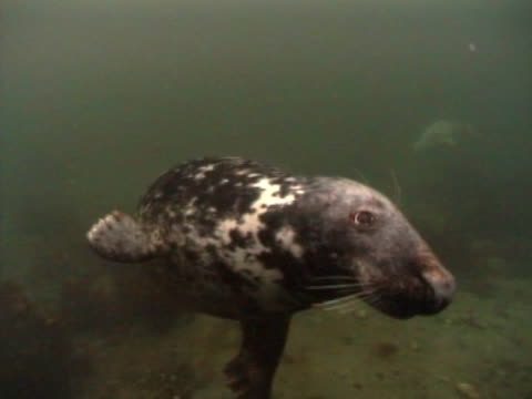 grey seal  mcu to cu in front of camera - grey seal stock videos and b-roll footage