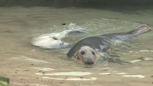 grey seal mother and pup basking in shallows, farne islands - kegelrobbe stock-videos und b-roll-filmmaterial