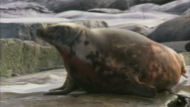 ms pan grey seal moving towards crow eating dead grey seal cub / sweden   - kegelrobbe stock-videos und b-roll-filmmaterial