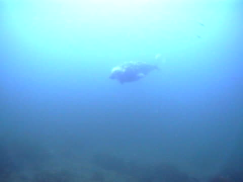 grey seal mws as swims slowly into view from distance towards camera mcu, good visibility - grey seal stock videos and b-roll footage