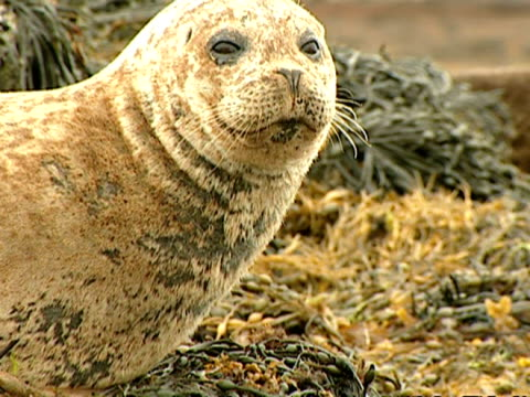 cu grey seal (halichoerus grypus) nodding at camera, norfolk, uk - gråsäl bildbanksvideor och videomaterial från bakom kulisserna